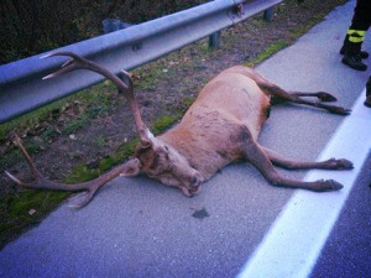 cervo incestito casnigo