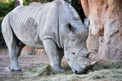 rinoceronte pancho cornelle
