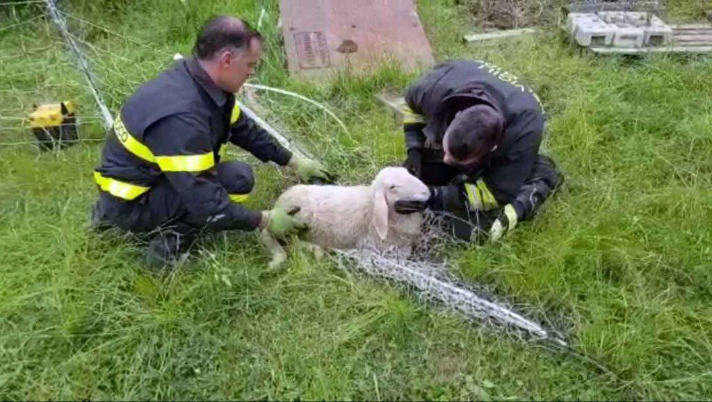 vigili del fuoco pecora