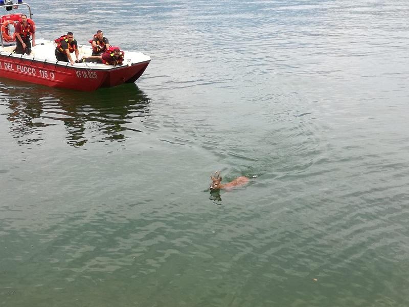 capriolo nel lago parzanica