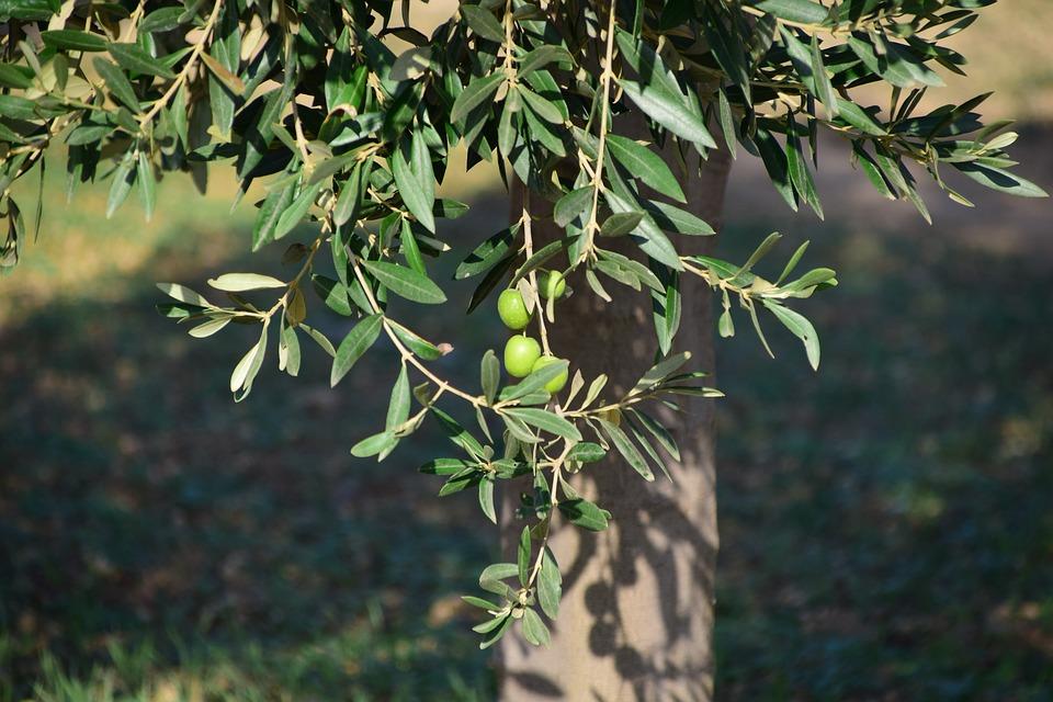 Potatura olivo
