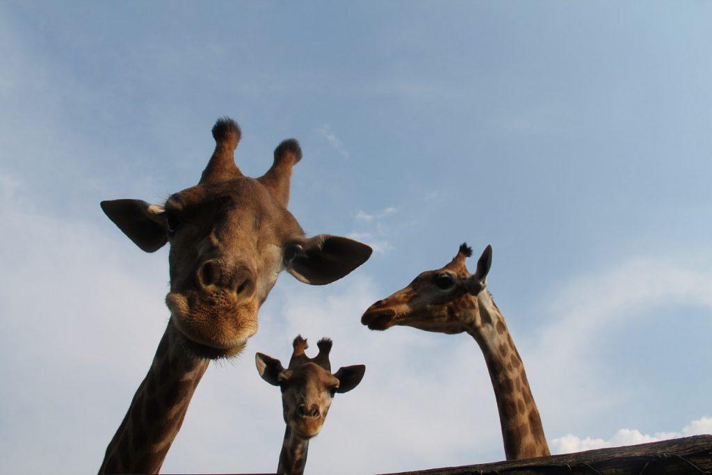 ParcoLeCornelle World Giraffe Day 2019