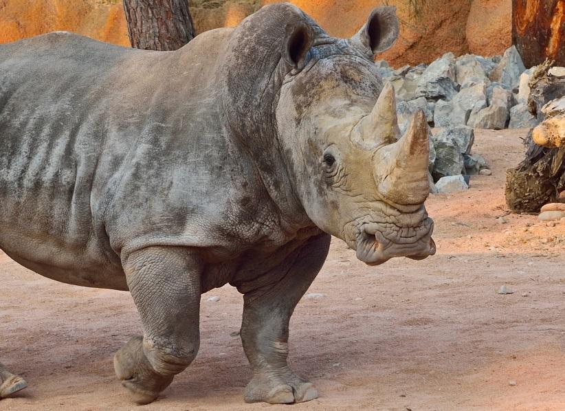 rinoceronte parco delle cornelle