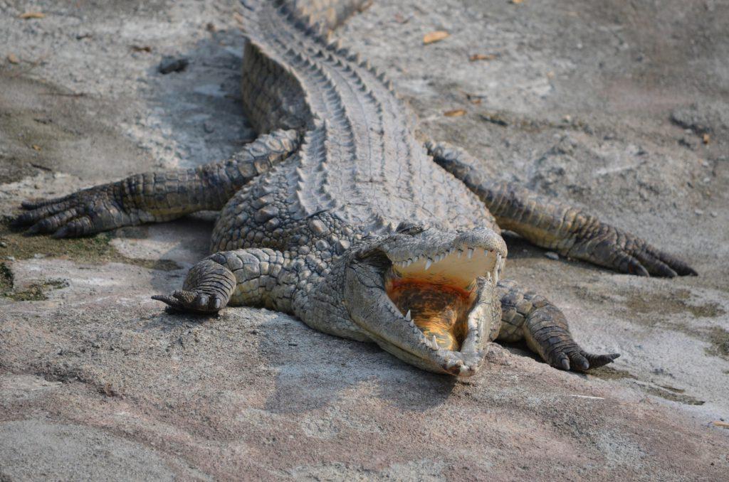 ParcoLeCornelle Coccodrillo del nilo