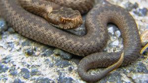 vipera serpente