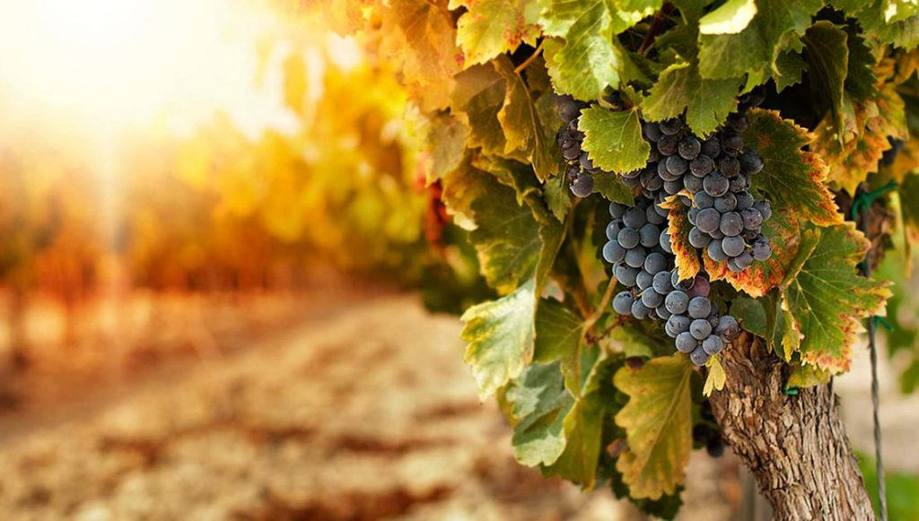 viticoltura uva vino