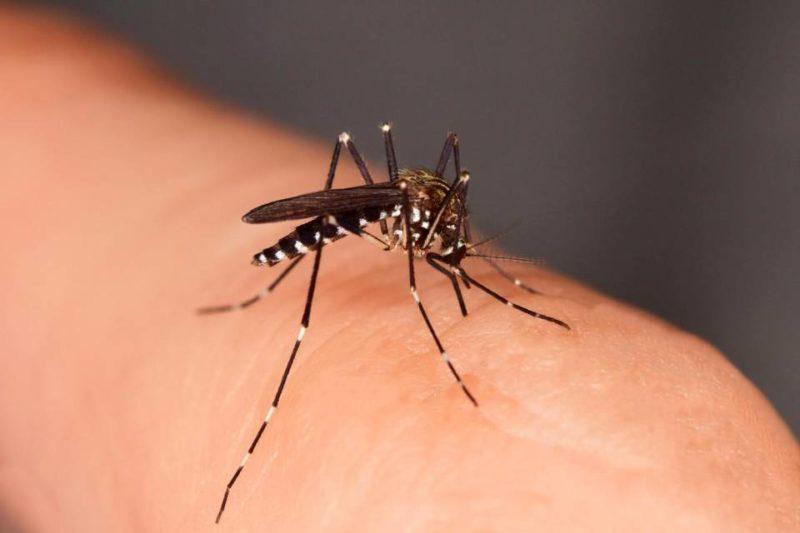 zanzara scaled