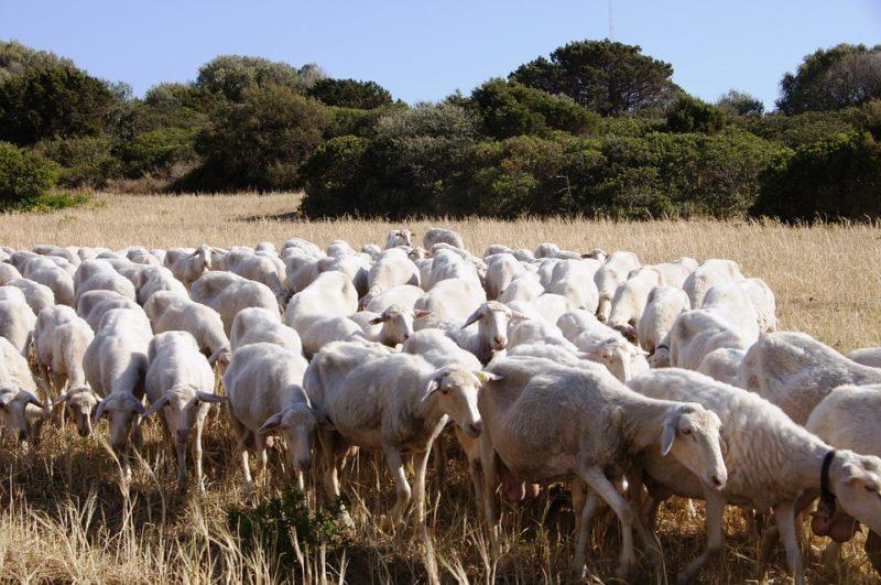 pecore gregge scaled